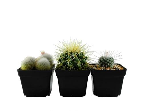 Cactus copia1