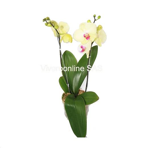Orquidea Viveroonline.com .co